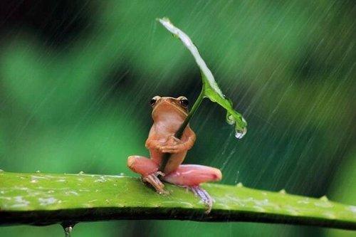 Frog in rain